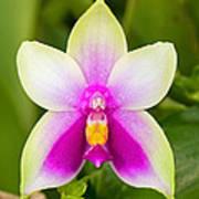 Phalaenopsis Bellina Art Print