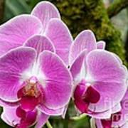 Phalaenopsis Orchid Hawaii All Profit Benefit Hospice Of The Calumet Area Art Print