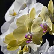 Phalaenopsis Orchids 2777 Art Print