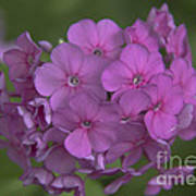 Phlox Nicky Art Print