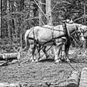 Photograph Of Horses Pulling Logs In Maine Forest Art Print