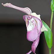 Phragmipedium - Phrag Frank Smith Orchid Art Print