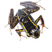 Phyllobates Lugubris With A Tadpole Art Print by JP Lawrence