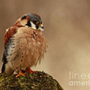 Picture Perfect American Kestrel  Art Print by Inspired Nature Photography Fine Art Photography