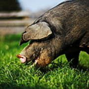 Pig Eating Art Print