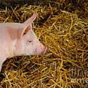 Pig Standing In Hay Art Print by Amy Cicconi