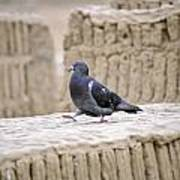 Pigeon At Huaca Pucllana In Lima Peru Art Print