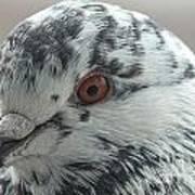 Pigeon Close-up Art Print