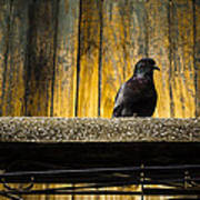 Pigeon On The Balcony Art Print