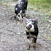 Piglets On The Loose Art Print