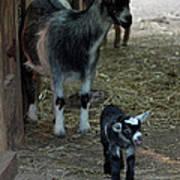 Pigmy Goats Art Print
