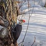 Pileated Woodpecker Winter Art Print