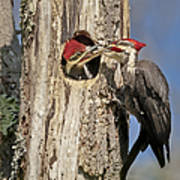 Pileated Woodpecker And Chick Art Print