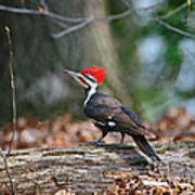 Pileated Woodpecker On Log Art Print