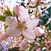 Pin Cherry Blooms Art Print