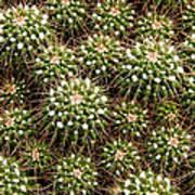 Pincushion Cactus Art Print