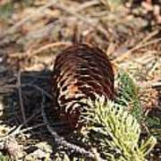 Pine Cone And Small Branch Art Print