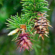Pine Cone Stages Art Print