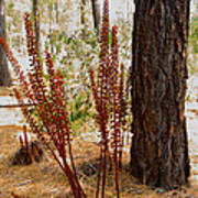 Pine Drops And Ponderosa Pine In Des Chutes Nf-or  Art Print