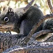 Pine Squirrel Art Print