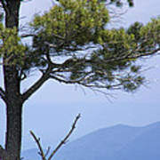 Pine Tree Along The Blue Ridge Parkway Art Print