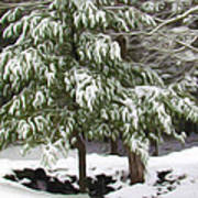 Pine Tree Covered With Snow 2 Art Print
