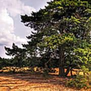 Pine Tree In Hoge Veluwe National Park 1. Netherlands Art Print
