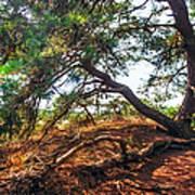 Pine Tree In Hoge Veluwe National Park 2. Netherlands Art Print