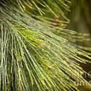 Pine Tree Needles Art Print