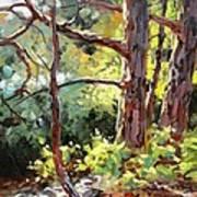 Pine Trees In Sunlight Art Print