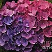 Pink And Blue Hydrangea Art Print