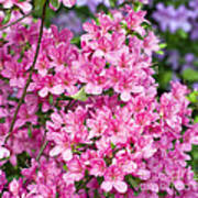 Pink And Blue Rhododendron Art Print by Frank Tschakert