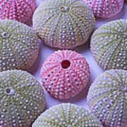 Pink And Green Urchins Art Print