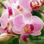 Pink And Purple Butterfly Orchids Art Print