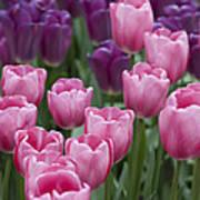 Pink And Purple Dutch Tulips Art Print