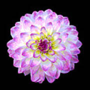 Pink And White Dahlia Posterized On Black Art Print