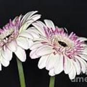 Pink And White Gerbera 2 Art Print