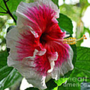 Pink And White Hibiscus Art Print