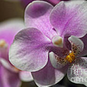 Pink And White Orchid Art Print