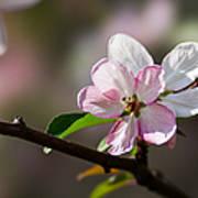 Pink Apple Blossom Art Print