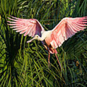 Pink Bird Flying - Spoonbill Coming In For A Landing Art Print