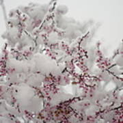 Pink Spring Blossoms In The Snow Art Print