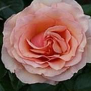 Pink Blush Rose I Art Print