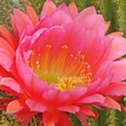 Pink Cactus Flower Of The Southwest Art Print