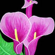 Pink Calla Lillies 2 Art Print