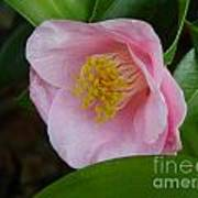 Pink Camellia About To Bloom Art Print