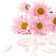 Pink Chrysanthemums Beautiful Art Print by Boon Mee
