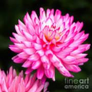 Pink Chrysanths Art Print