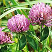 Pink Clover Wildflower - Trifolium Pratense Art Print