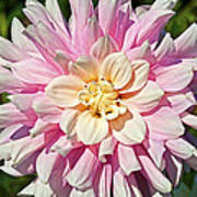 Pink Dahlia Flower Art Print
